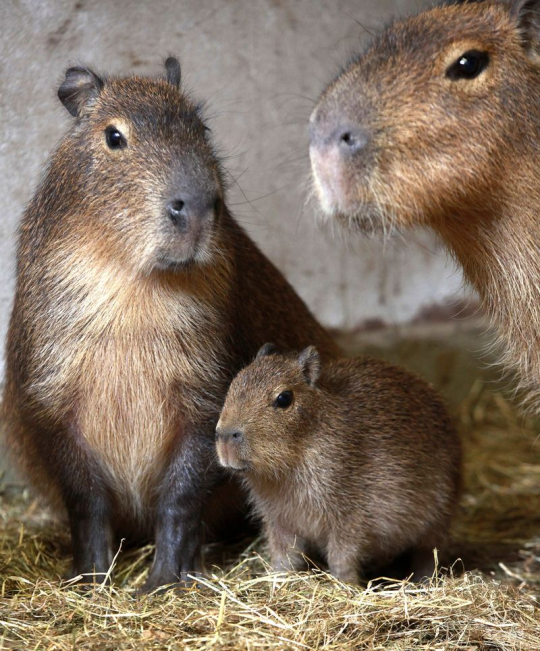 baby capibara